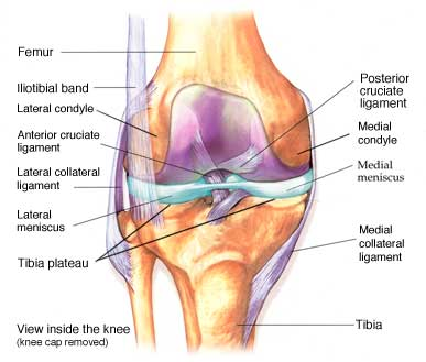 diagram of knee anatomy