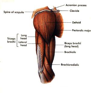 Triceps / Biceps Muscle Rupture