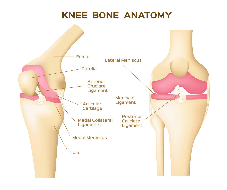 67560347 - knee bone vector . anatomy . human knee infographic - Dr Lox