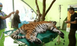 tiger with hip pain receives stem cell treatment