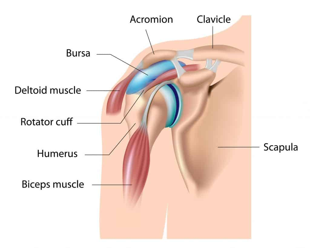 shoulder anatomy to understand shoulder pain in la