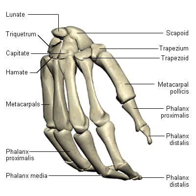 Picture of the bones in the human wrist